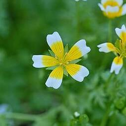 Poached Eggs Plant(Start-A-Garden™ Range)