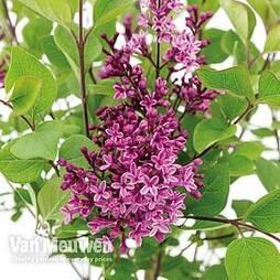 Lilac 'Bloomerang Dark Purple'