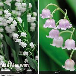 Lily of the Valley 'Duo Collection'