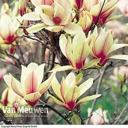 Magnolia 'Sunrise' (Standard)