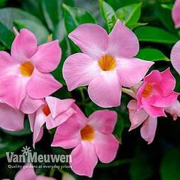 Mandevilla 'Bloom Bells® Pink'