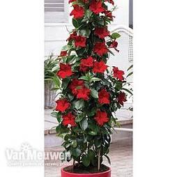 Mandevilla 'Bloom Bells® Red'