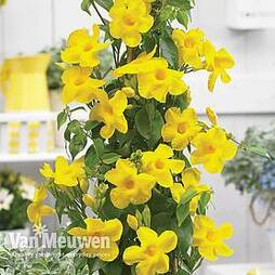 Mandevilla ' Bloom Bells® Yellow'