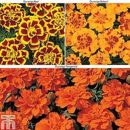Marigold 'Durango' Collection F1 Hybrid