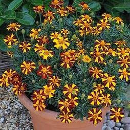 Marigold 'Mr Majestic Doubles'