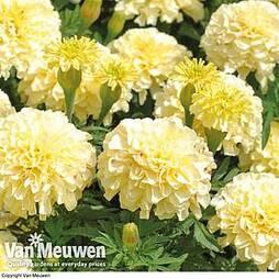 Marigold 'French Vanilla' (Garden ready)