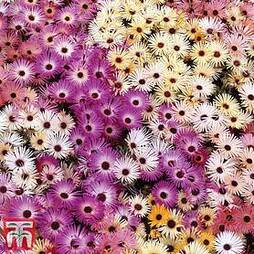 Mesembryanthemum criniflorum 'Magic Carpet Mixed'