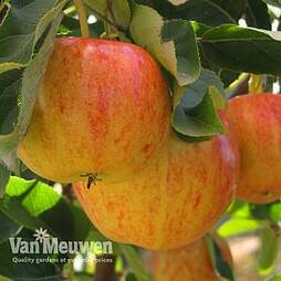 Apple 'Gala' (Mini Fruit Tree)