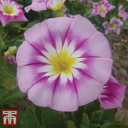 Morning Glory 'Ensign Rose'