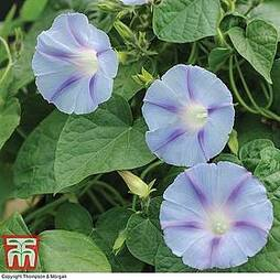Morning Glory 'Light Blue Star'