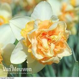 Daffodil 'Peach Cobbler'
