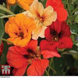 Nasturtium 'Tom Thumb Mixed'