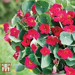 Nasturtium 'Baby Deep Rose'
