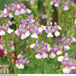 Nemesia 'Seventh Heaven' F1 Hybrid
