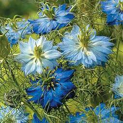 Nigella 'Moody Blues' (Start-A-Garden™ Range)