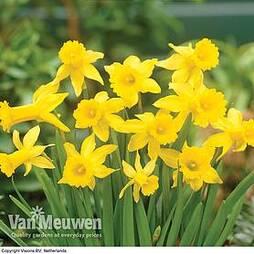 Daffodil 'Peeping Tom'