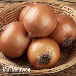 Onion (Autumn) Autumn Champion