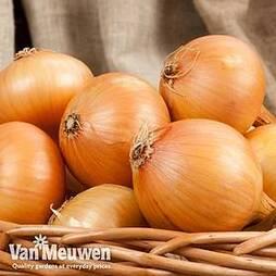 Onion (Autumn) Centurion
