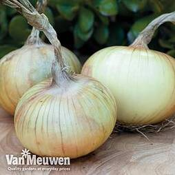 Onion 'Senshyu' (Autumn Planting)