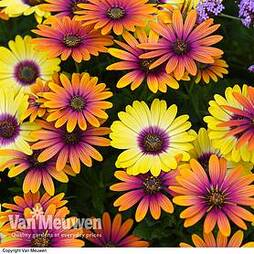 Osteospermum 'Bright Eyed Duo'