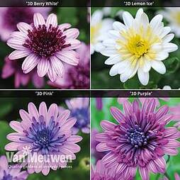 Osteospermum 3D Collection