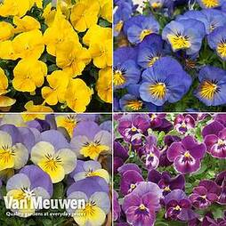 Pansy 'Coolwave Collection'
