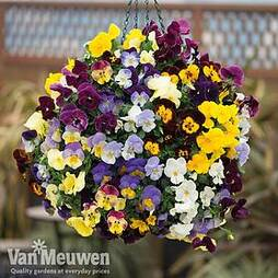 Pansy 'Coolwave'