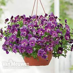 Pansy 'Coolwave Raspberry'