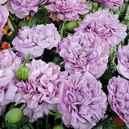 Poppy 'Candyfloss' (Start-A-Garden™ Range)