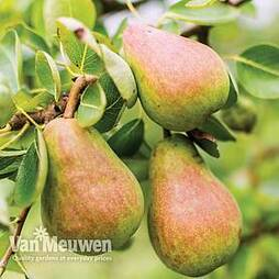 Pear 'Williams' Bon Chretien'