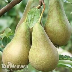 Pear Mini Conference