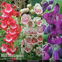 Penstemon 'Ice Cream Collection'