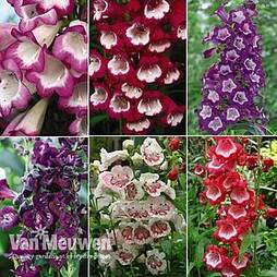 Nurseryman's Choice Penstemon Collection