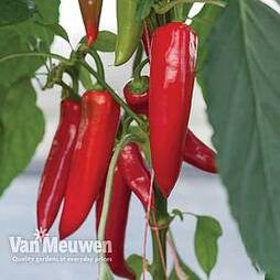 Pepper Amboy Grafted