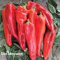 Sweet Pepper 'Lipari' F1 Hybrid