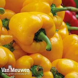 Sweet Pepper 'Beluga Yellow'