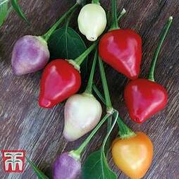 Chilli Pepper 'Spangles Twilight'