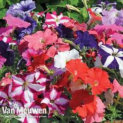 Petunia 'Frenzy Mixed' F1 Hybrid