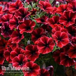 Petunia 'Sweetunia Fiona Flash'
