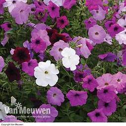 Petunia Tickled Mixed Climbing Collection