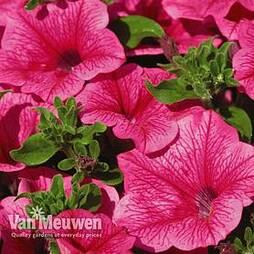 Petunia 'Trailing Surfinia Hot Pink'
