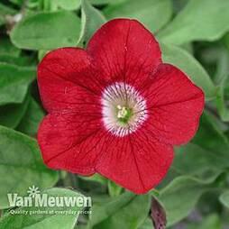 Petunia 'Trailing Surfinia Red'