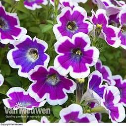 Petunia 'Hippy Chick Violet'