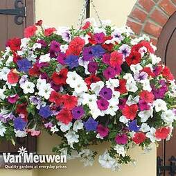 Petunia 'Surfinia' Pre-Planted basket