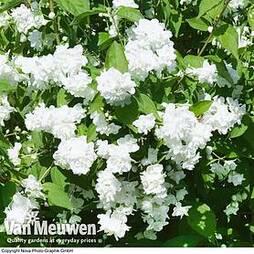 Philadelphus 'Bouquet Blanc'