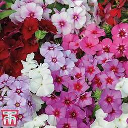 Phlox drummondii 'Dwarf Beauty Mixed'