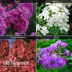 Phlox 'Fragrant Collection'