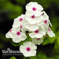 Phlox subulata 'Pharao Red Eye'