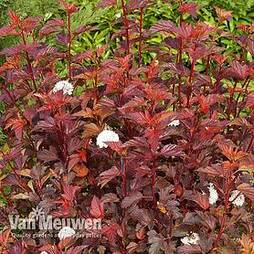 Physocarpus opulifolius 'Diable D'Or'