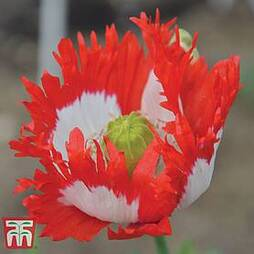 Poppy 'Danish Flag'